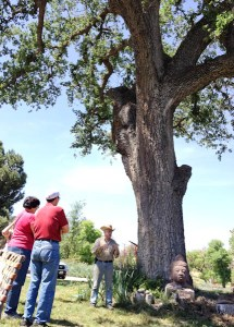 Centuries old White Oak, Windrose Farms