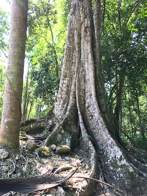 Belize - Mayan Ceiba tree