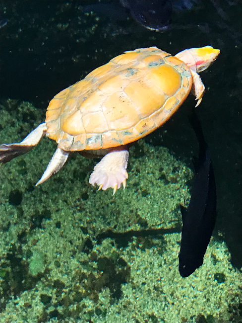 Nimbus the albino sea turtle | ShesCookin.com