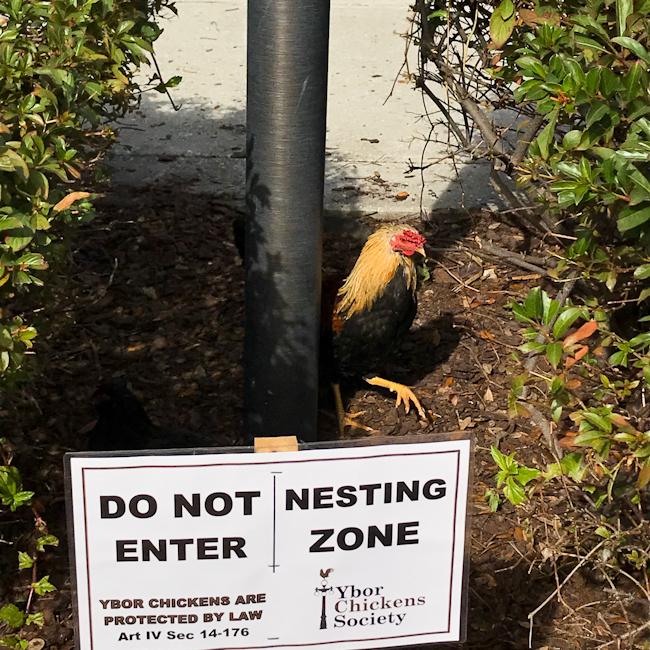 Ybor City chickens, Tampa, Florida