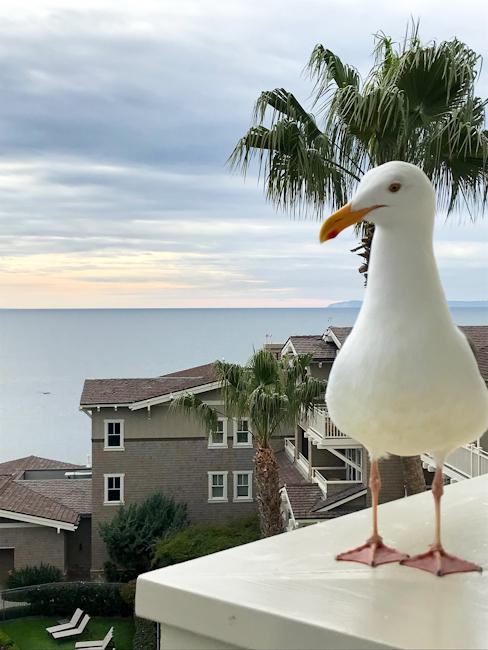 Sea gull at Montage Laguna Beach