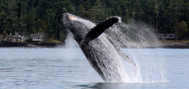 humpback whale, san juan islands