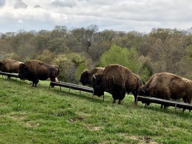 Bison at Dogwood Canyon Nature Park