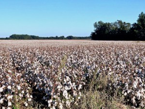 The Great River Road - Arkansas cotton