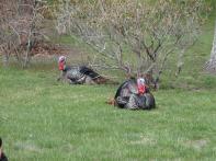 Wild Turkeys, Marthas Vineyard