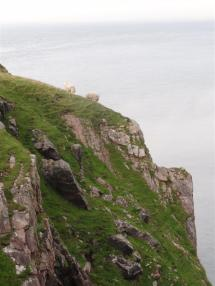 Fearless sheep, Cape Wrath