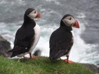 Puffins at Hermaness, Unst, Shetland