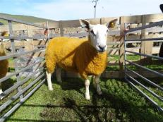 Orange Sheep, Voe show, Shetland Mainland