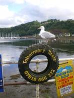 Tobermory Gull, Mull