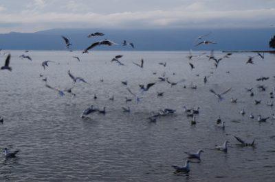 Seagulls, Lake Ohrid