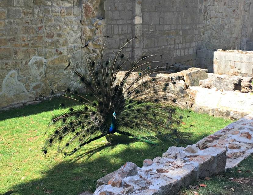 Peacock in Lokrum