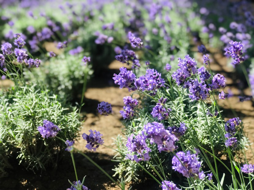 Farm Tomita's Lavender
