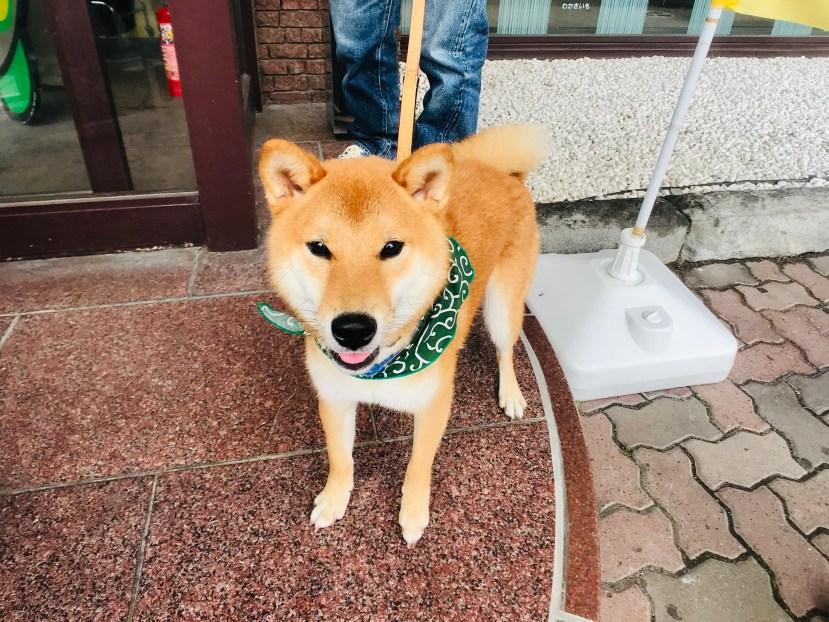 A Cute Shiba Inu