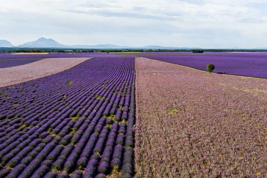 Aerial view of the lavender fields and sage fields in Provence, France