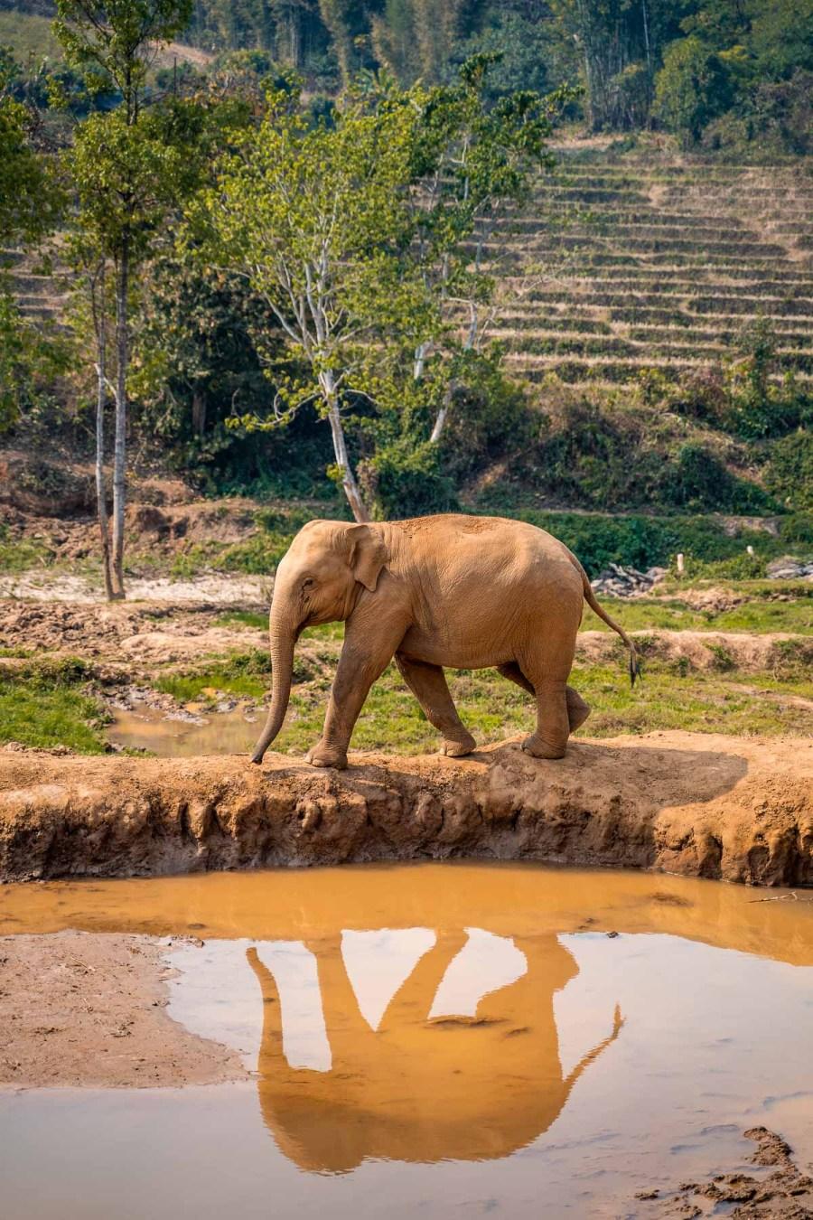 Baby elephant walking on the edge of a lake at Elephant Jungle Sanctuary Chiang Mai