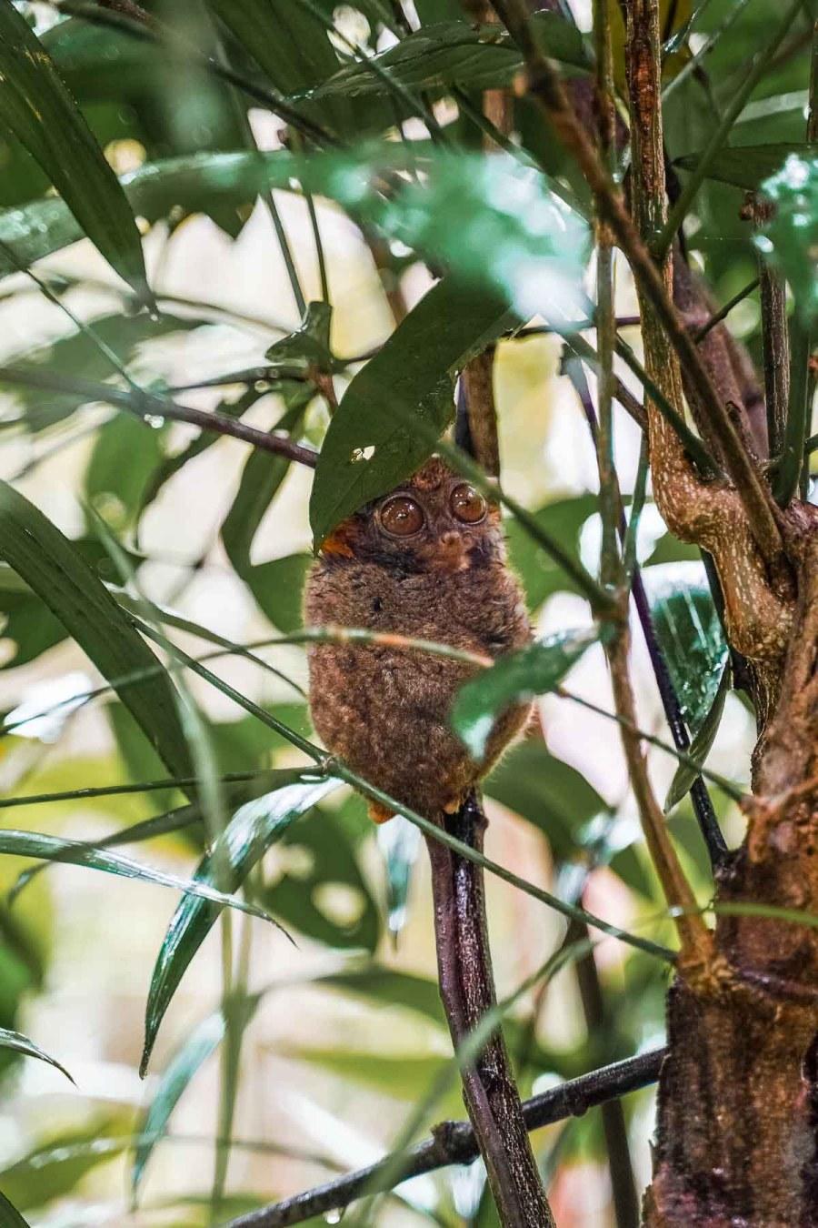 Cute looking tarsier in the