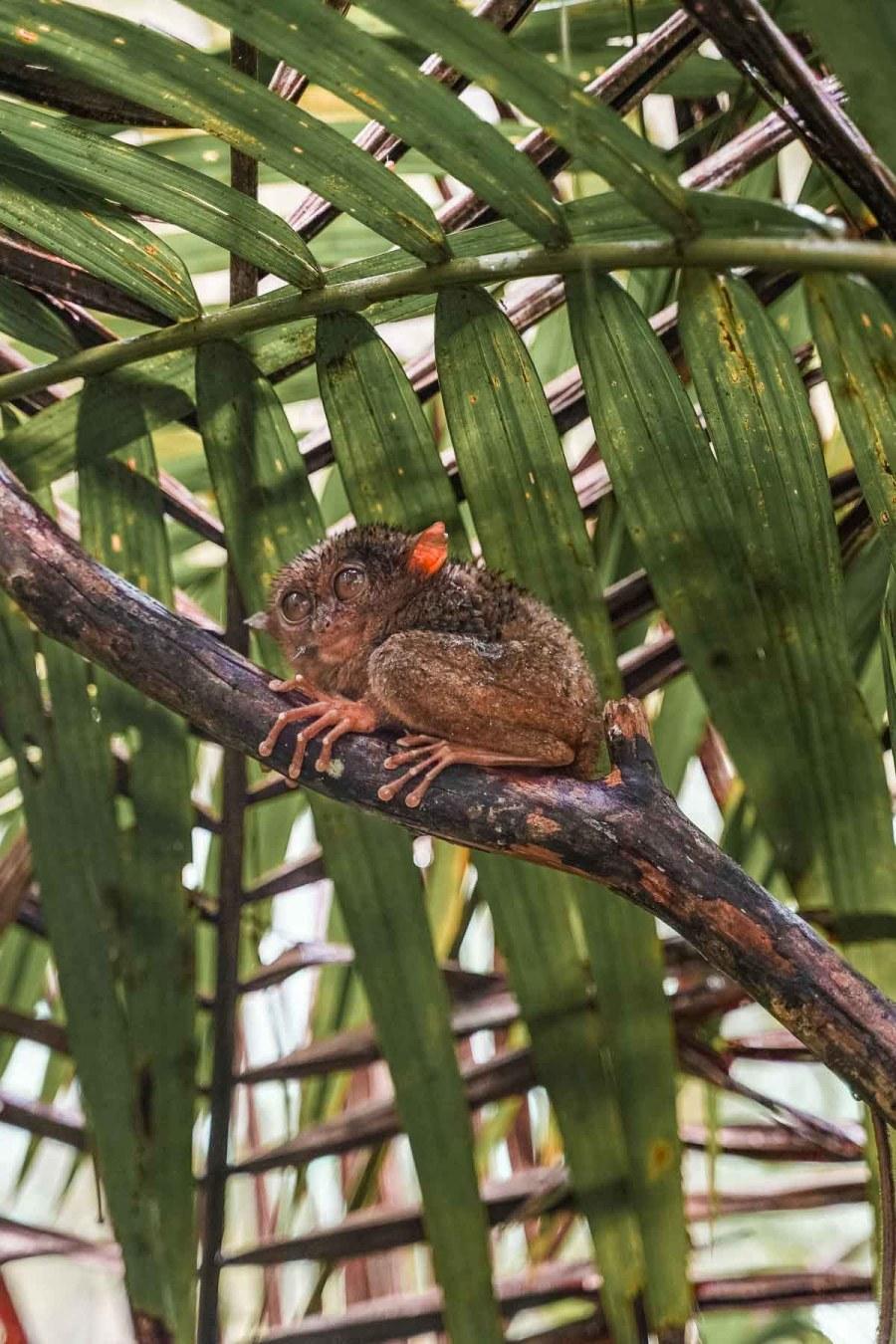 Cute looking tarsier in the Tarsier Sanctuary in Bohol, Philippines