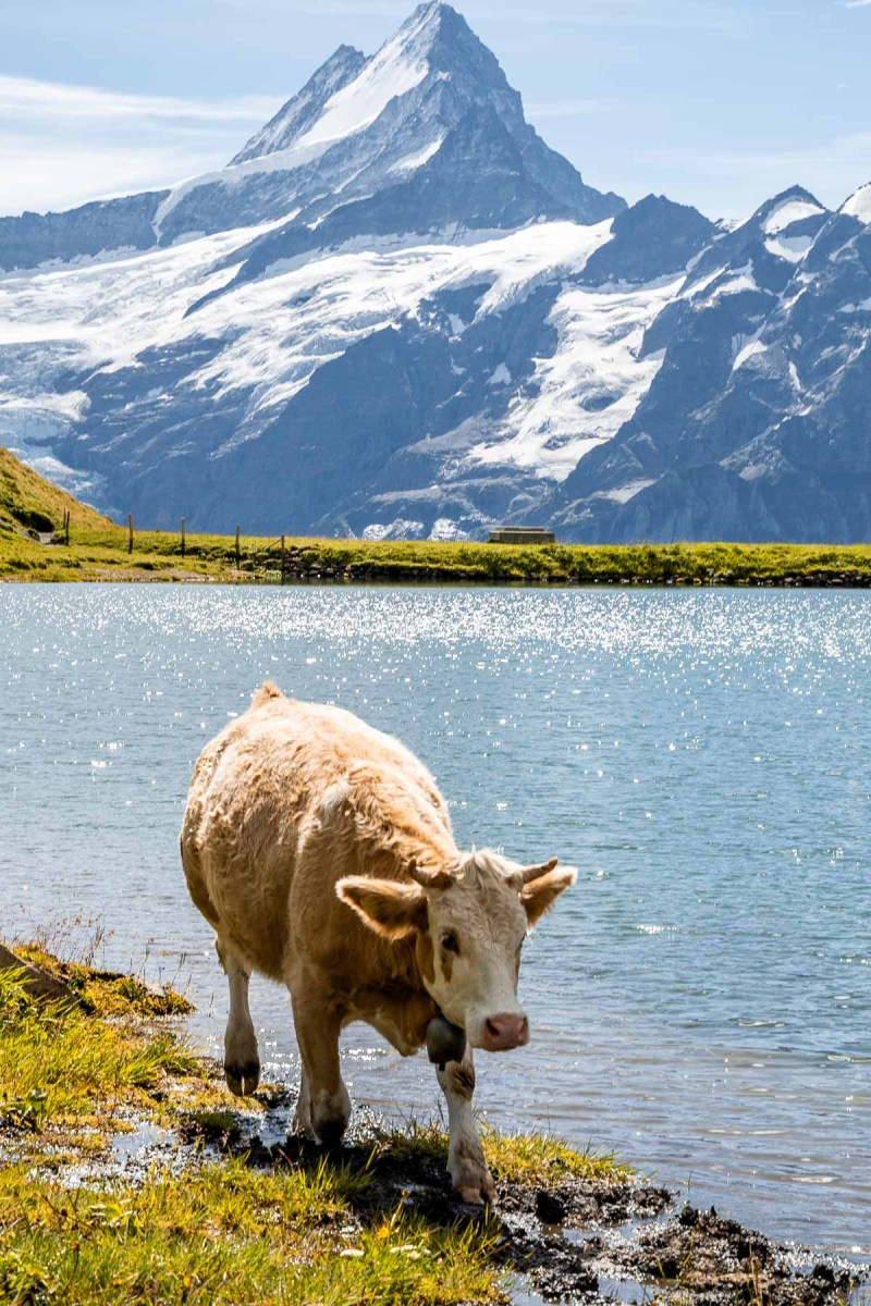 Cow in front of Bachalpsee, Switzerland