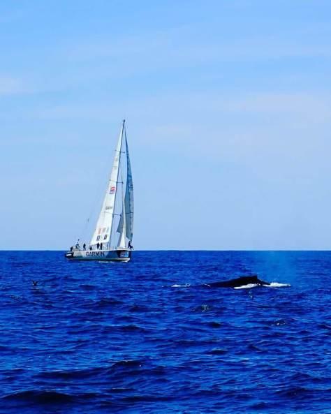 whale_clipper_race