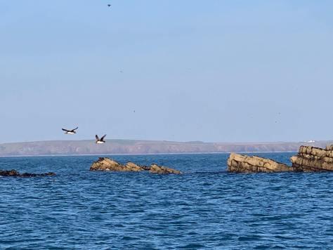 Puffins_skomer_island_sailing