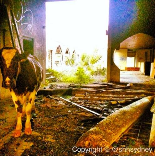 Stables - cow & carpet