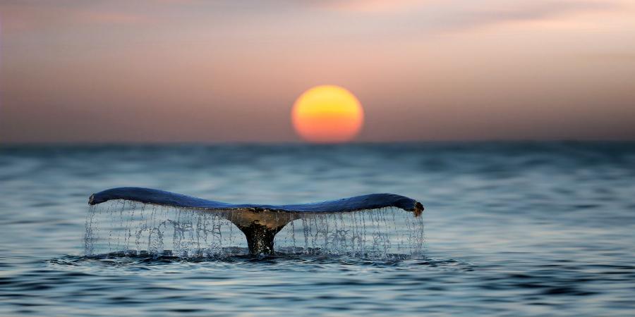 Кит, нырнувший в воду на фоне заходящего солнца