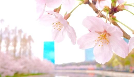 桜の写真の撮り方 iPhoneのコツは?本格的に撮りたい!