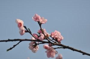 Fleur cerisier_printemps6868849030_791cc13061_o