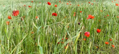 blecoquelicot-flickr-oudjat45t