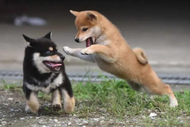 柴犬の子犬の戯れ