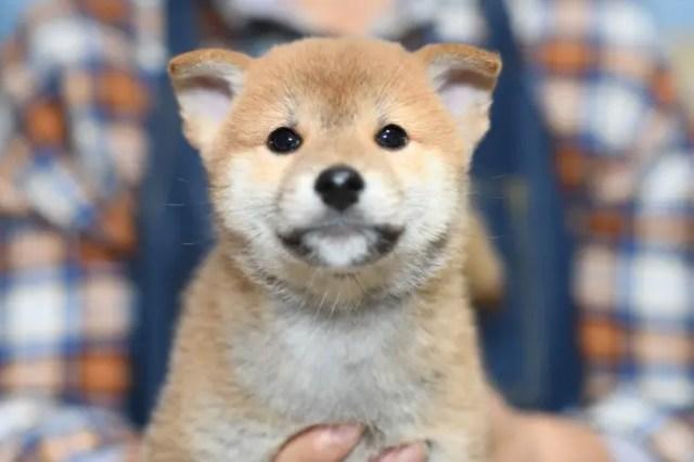 柴犬コロ君