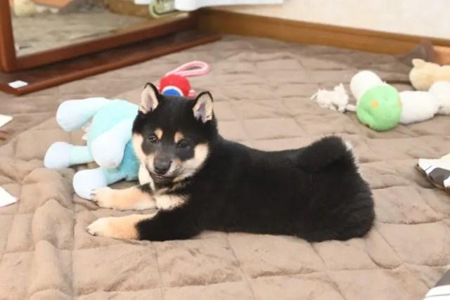 生後53日目の黒柴の子犬の写真