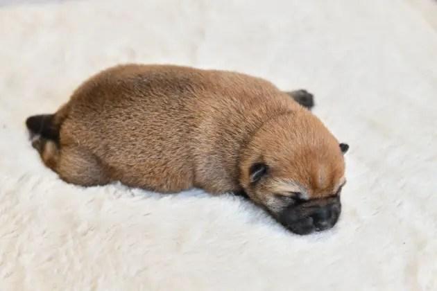 生後6日目の柴犬の子犬