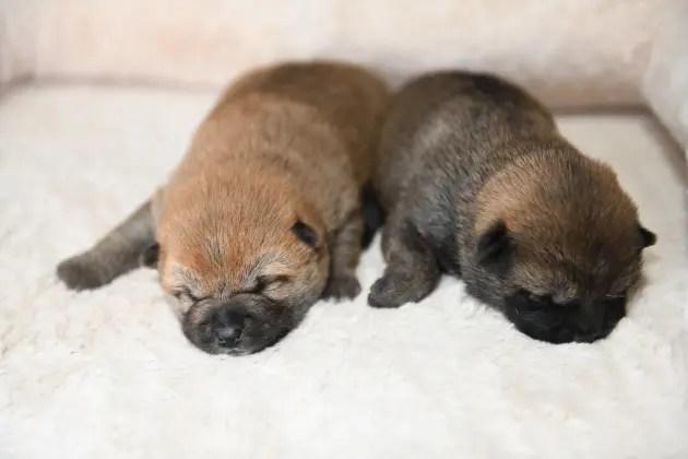 生後14日目の柴犬の子犬たち