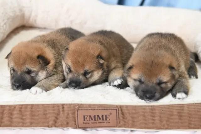 生後19日目の柴犬の子犬たち