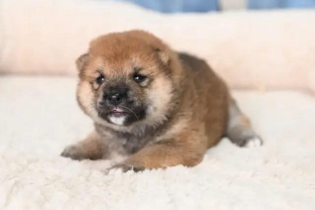 柴犬メスの子犬の写真