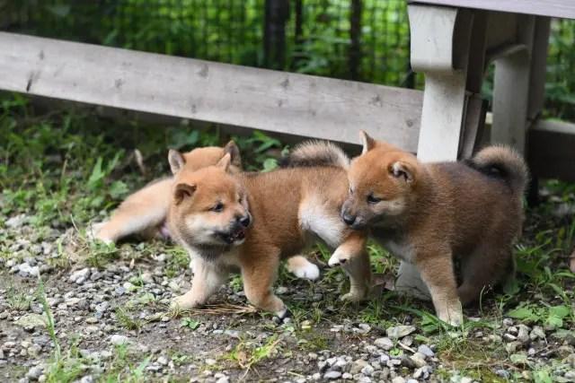生後38日目の柴犬の子犬たちの写真