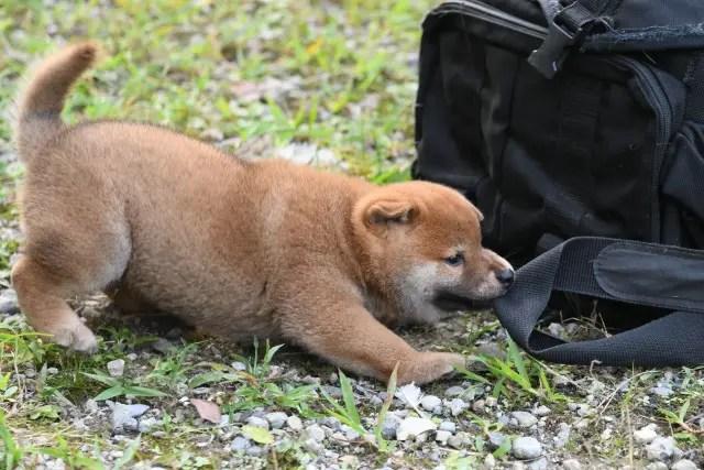生後42日目の柴犬の子犬の写真