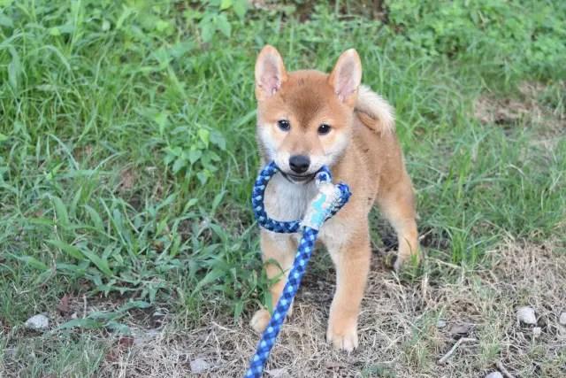 柴犬菊次郎君の写真