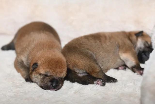 柴犬の子犬2匹の写真