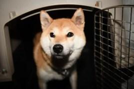 柴犬ムギの写真