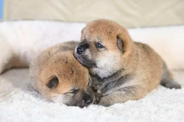 目が開いた柴犬の子犬たちの写真