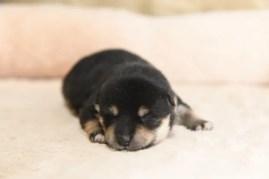 生後8日目の黒柴の子犬の写真