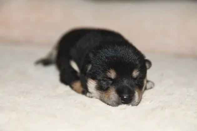 生後11日目の黒柴オスの子犬。