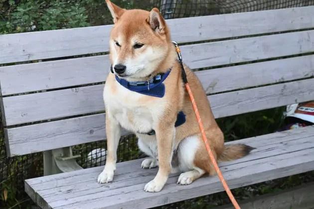 柴犬福丸君の写真