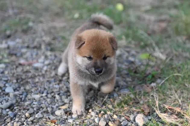 生後32日目の柴犬の子犬です