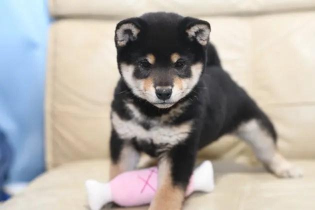 黒柴小太郎君の写真