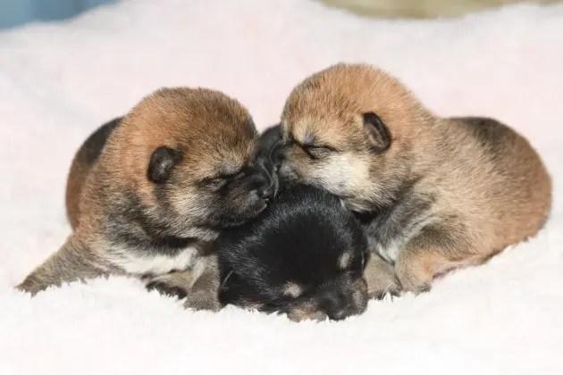 生後9日目の柴犬の子犬たちです。