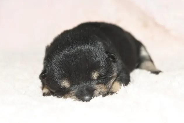 生後10日目の柴犬の子犬の写真