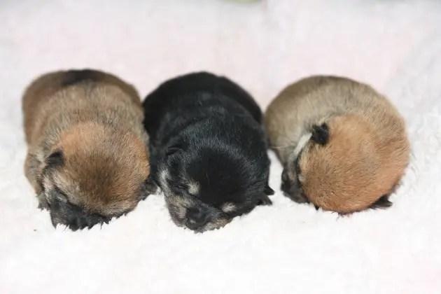 柴犬の3兄妹の写真